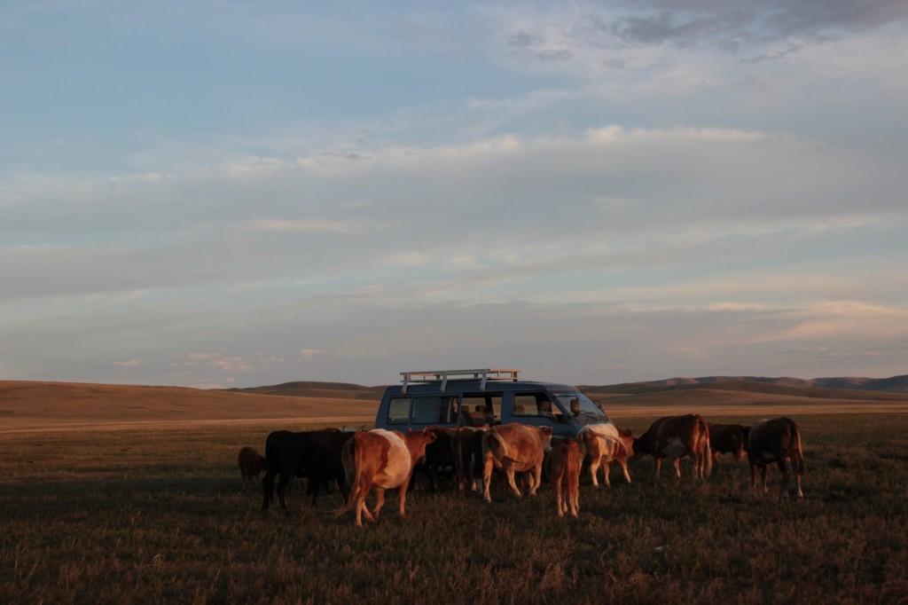 Kühe überfallen unser Auto