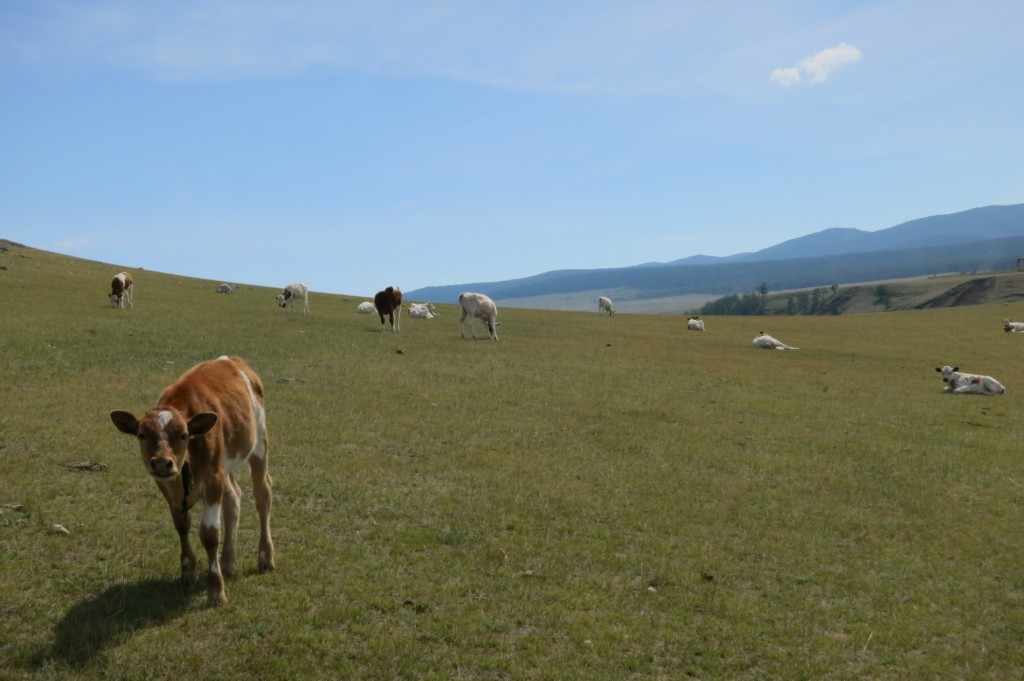Cows on the Island
