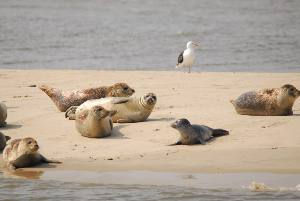 Seehunde auf Sandbank ©Seehundstation Norddeich