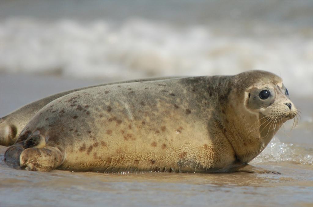 Seehund bei Auswilderung © Seehundstation Norddeich