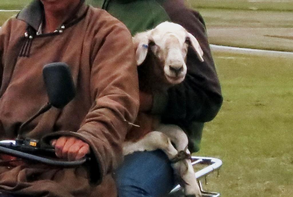 The Lucky Sheep