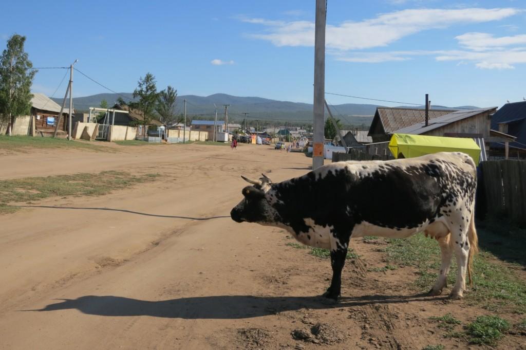 Cow in Chushir