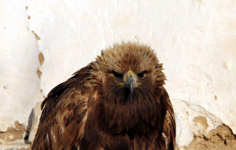 Fierce Eagle