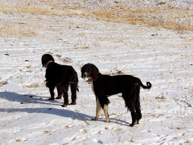 Taigan - Kyrgyz Hunting Dog